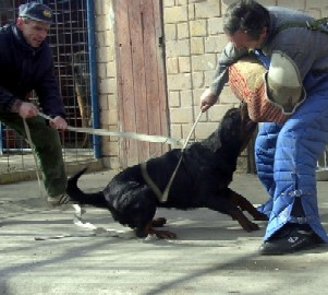Foto Rottweiler Baghira Crni Lotos