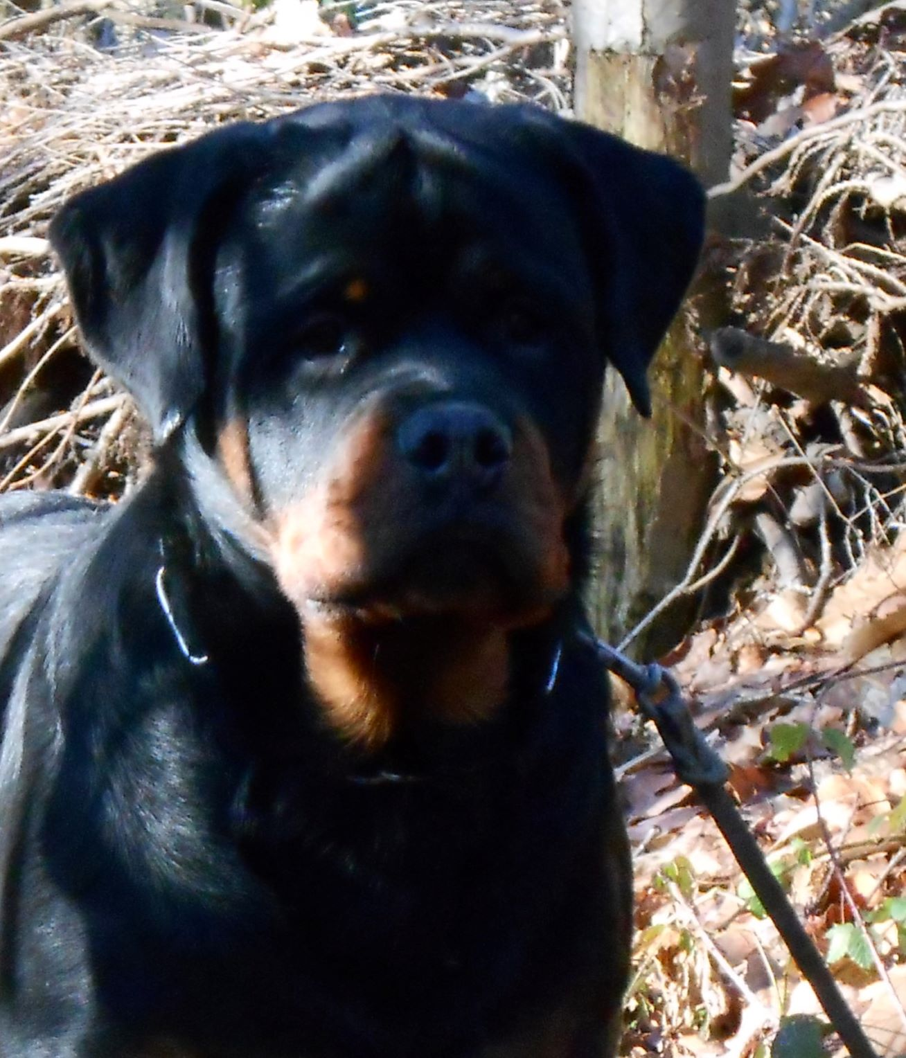 Rottweiler Red-rock